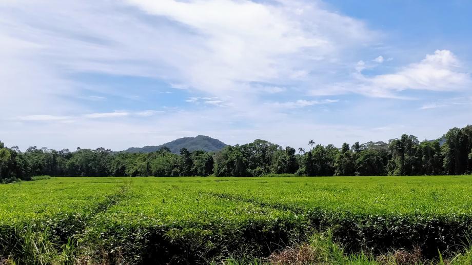 Plantations de thé à Daintree