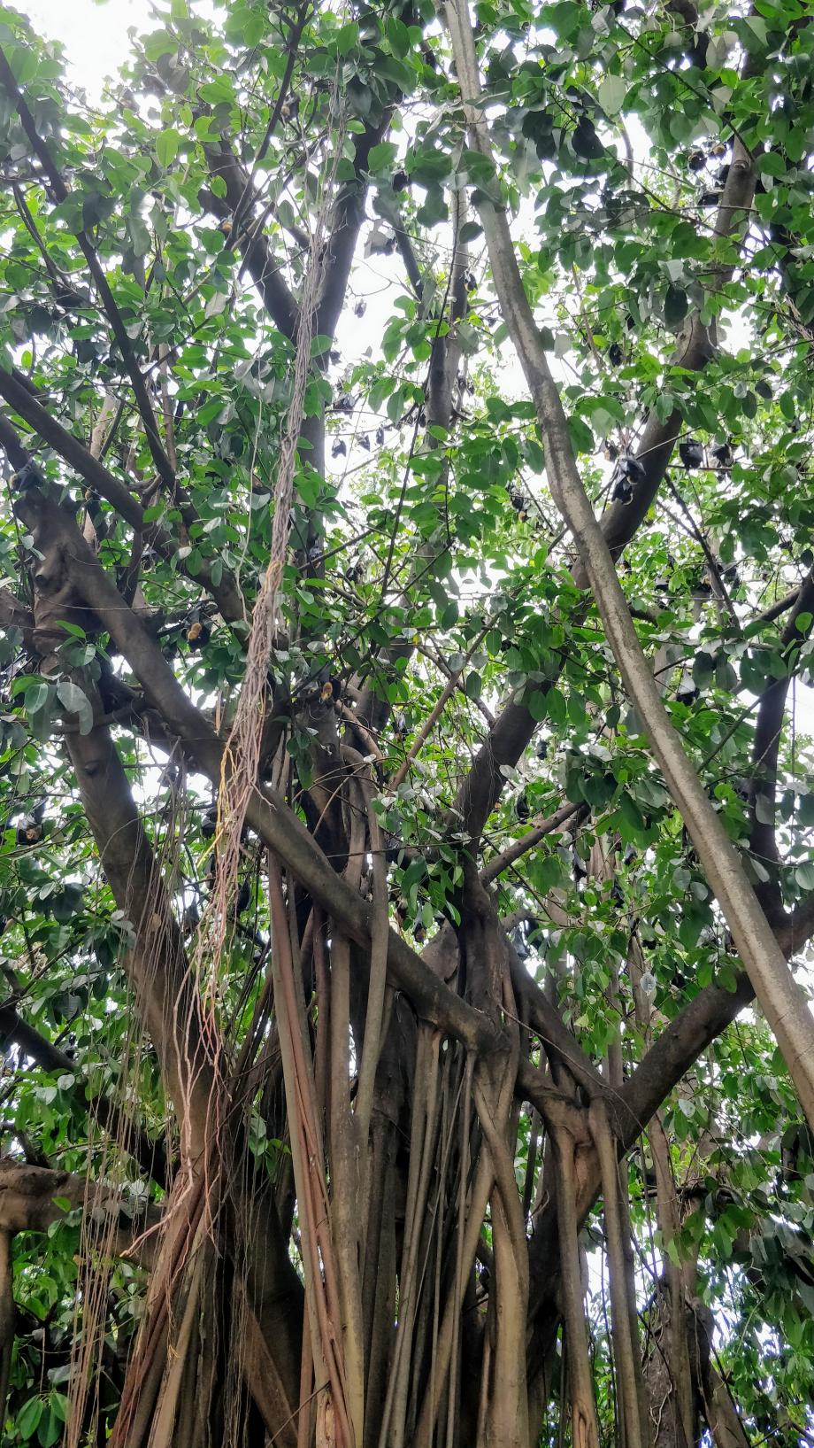 On les distingue, masses noires pendues au branches.