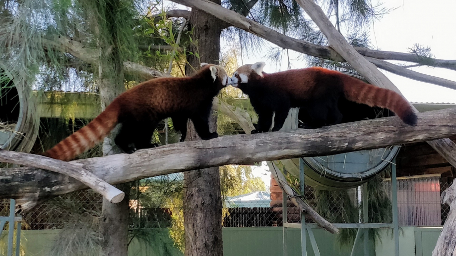 Des pandas rouges