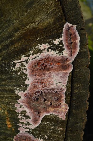 Chondrostereum purpureum (4) blog.jpg