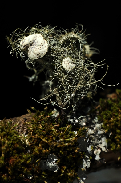 Usnea florida (11) blog.jpg
