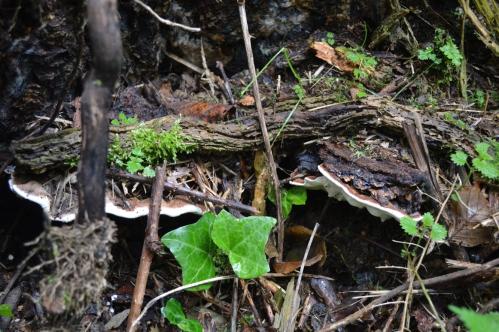 Heterobasidion annosum (1) blog.jpg