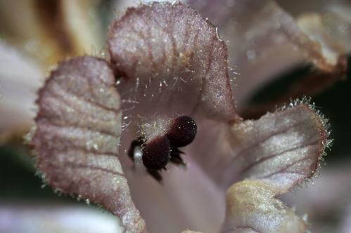 Orobanche caryophyllacea (4) blog.jpg
