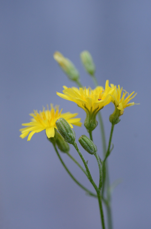Crepis capillaris 1 - copie blog.jpg