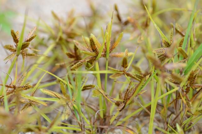 Cyperus flavescens 1 blog.jpg