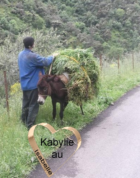 Ane en Kabylie portant de l'herbe