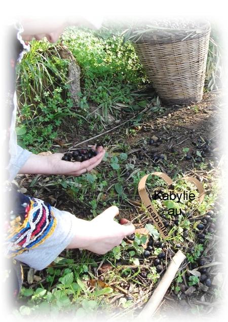ramassage des olives en Kabylie