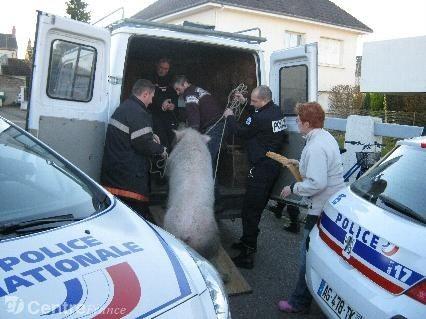cochon-cochonne-insolite-pompiers-police-nevers-ds-souverain_593388.jpg