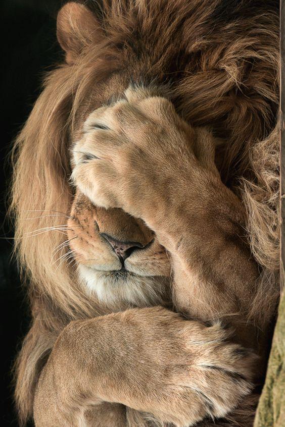 lion peureux.jpg