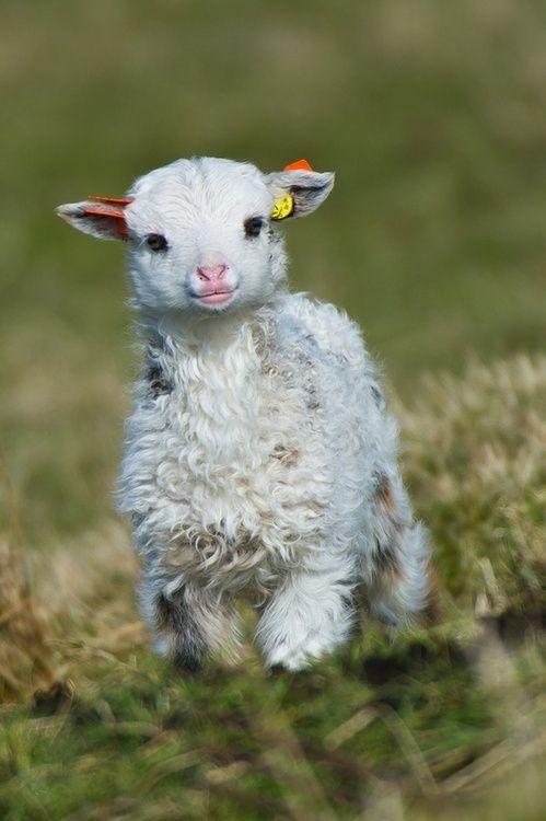 agneau tendre.jpg