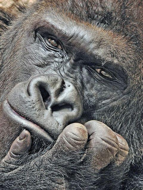 visage gorille paisible.jpg