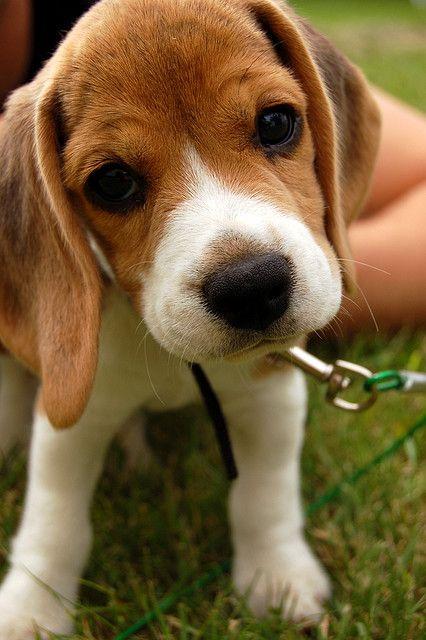 petit chien pataud.jpg