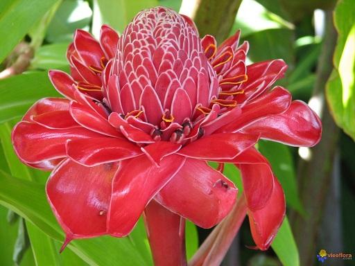 rose-de-porcelaine-etlingera-eliatior-visoflora-3063.jpg