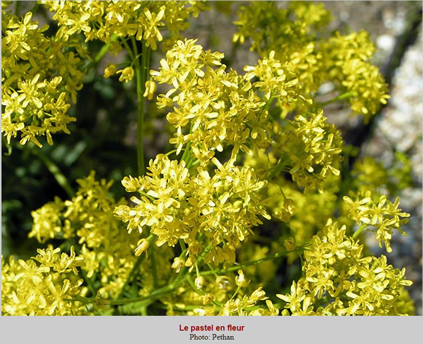 pastel en fleur Lauragais patrimoine.PNG