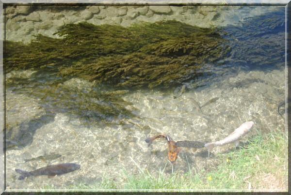 poissons en eau claire.JPG
