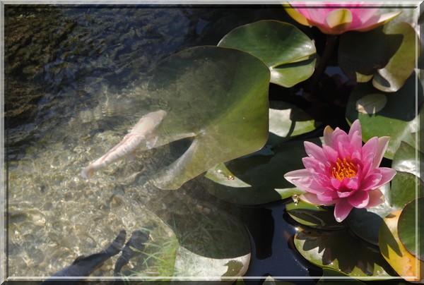 poisson et nénuphar.jpg