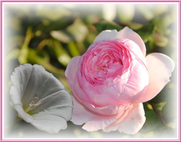 La rose et le liseron.jpg