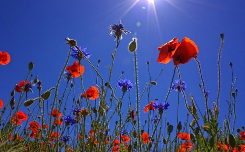 field-of-poppies-807871_640(1).jpg