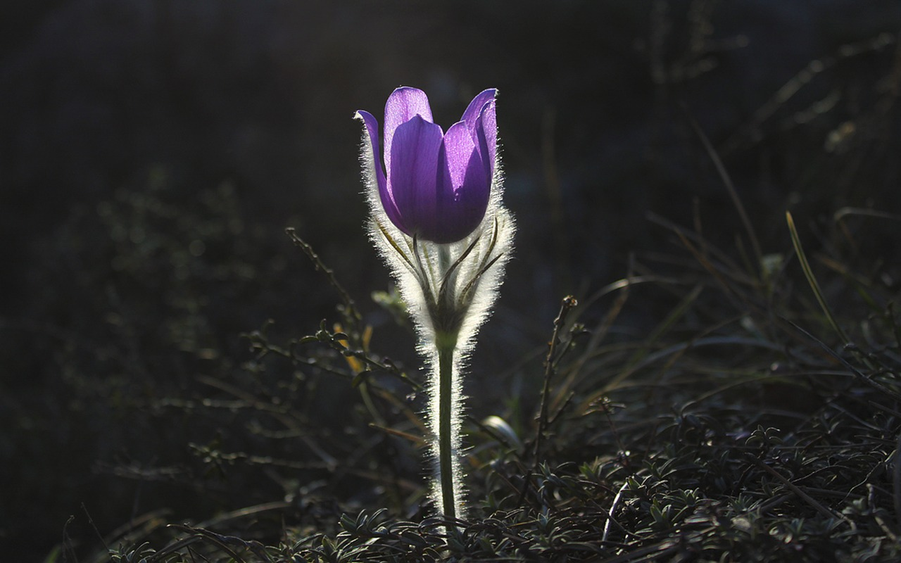 pasqueflower-.jpg