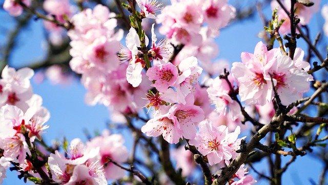 almond-tree-4933573_640.jpg