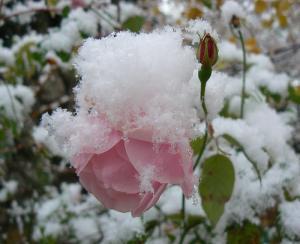 rose-neige.jpg
