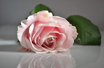 rose-1109628_960_720.jpg