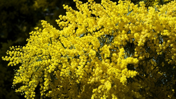 mimosa_branches_bushes_fluffy_bright_spring_45701_602x339 (1).jpg