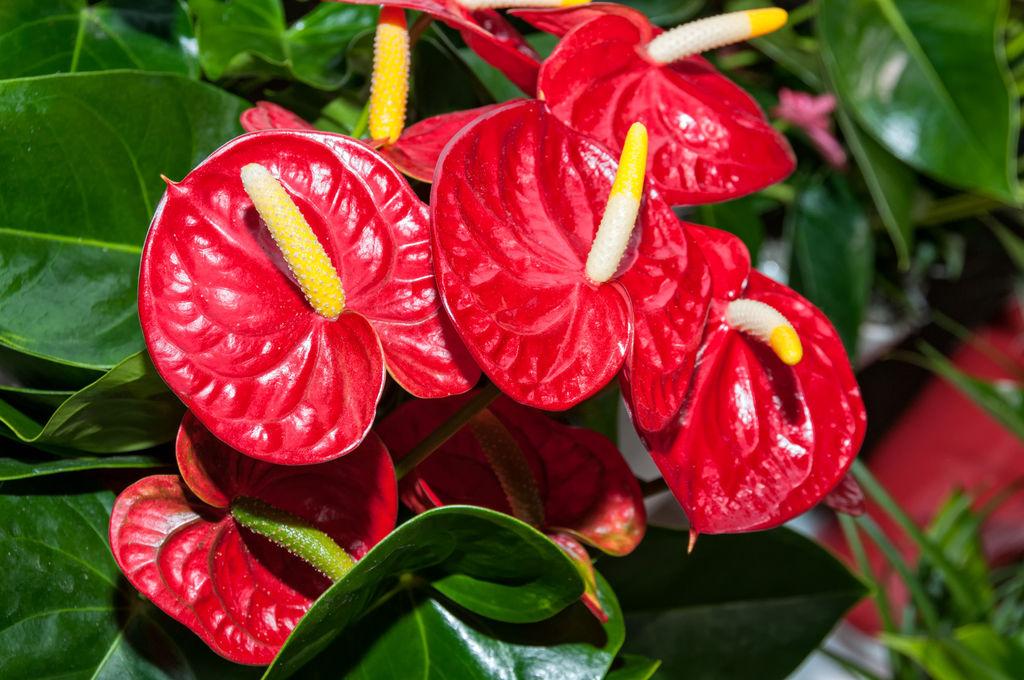 L-anthurium-5-conseils-d-entretien-pour-la-plante-qui-illumine-votre-maison_width1024.jpeg