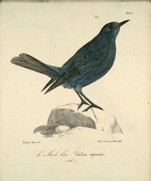 merle-bleu-male-1 (Copier).jpg
