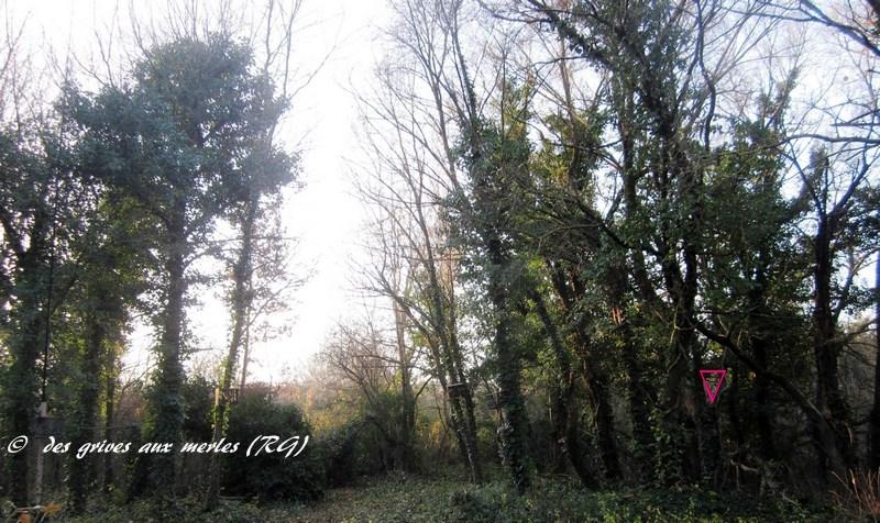 La clairière est bordée d'arbres couverts de lierre...le triangle.jpg