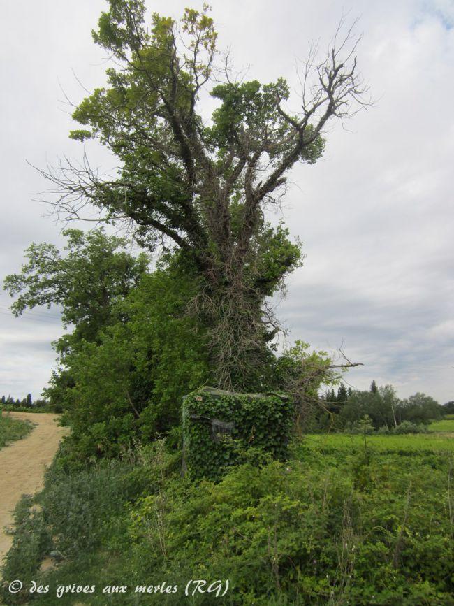 Chateauneuf de Gadagne (84). Blotti dans une haie de ronces, au pied d'un vieux chêne.