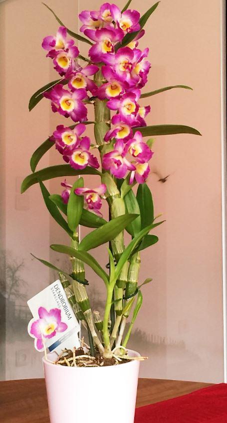 16 - Dendrobium Starclass.JPG