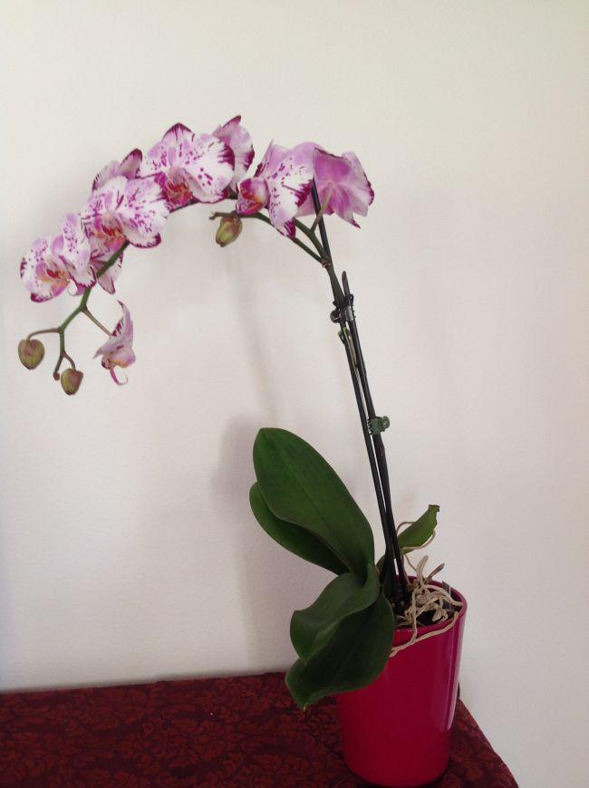 phalaenopsis avec ses belles fleurs roses mouchetées.