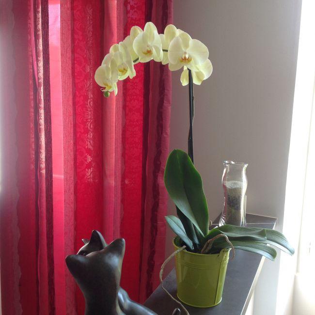phalaenopsis jaune vert clair la dernière arrivée.