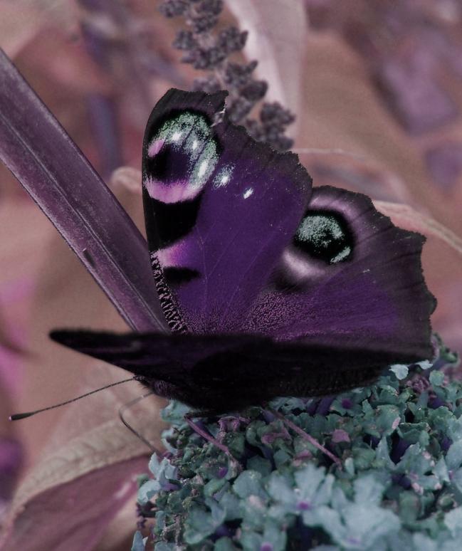 papillon mauve4.JPG
