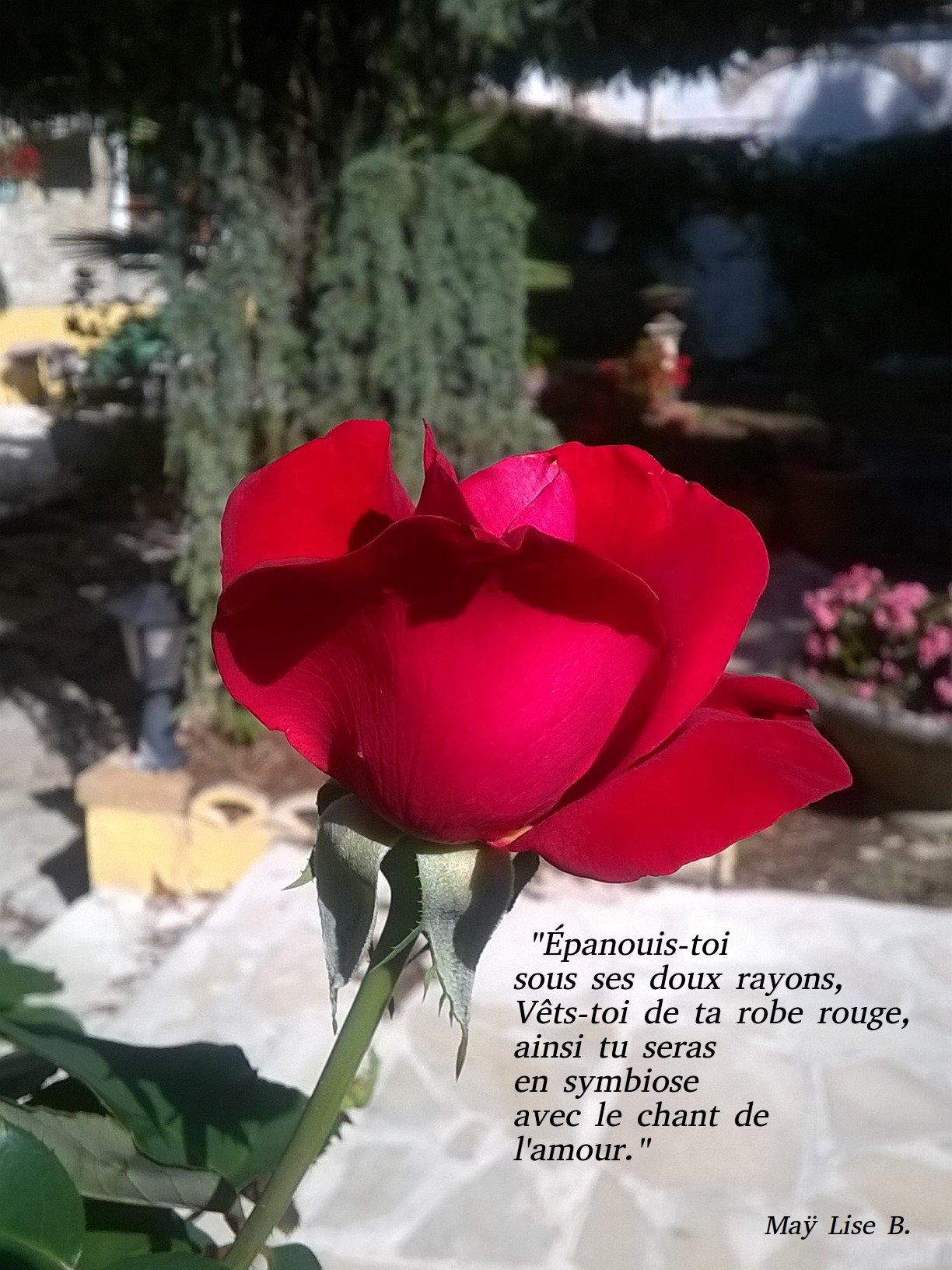 la rose.jpg