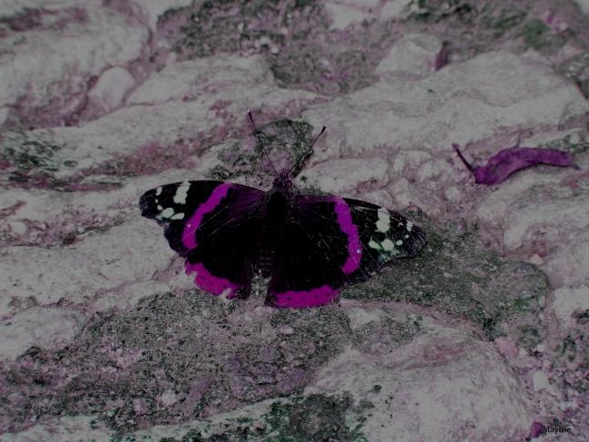 Papillon1Bis.JPG