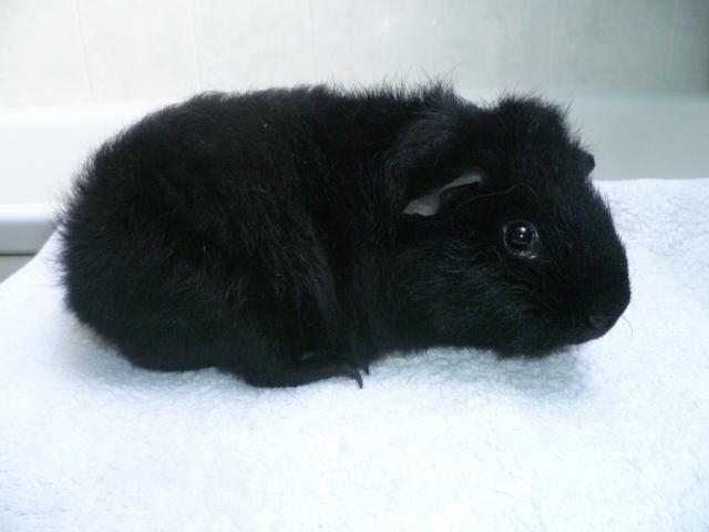 Lennon - Rex mâle noir.JPG