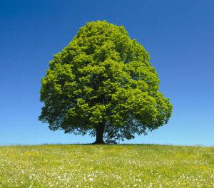 tilleul-arbre-300x264.jpg