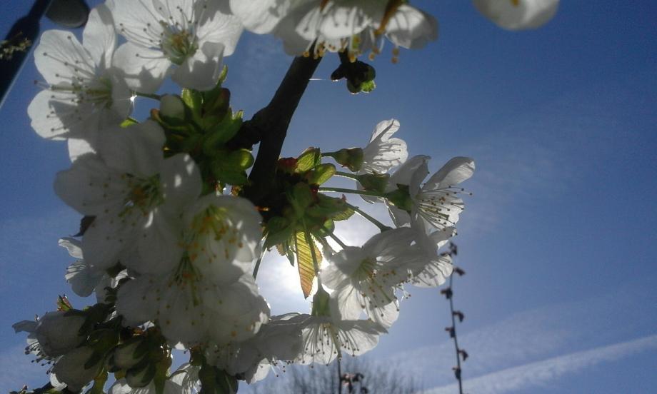 fleurs de cerisier.png