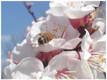 abeille marsannaise.JPG