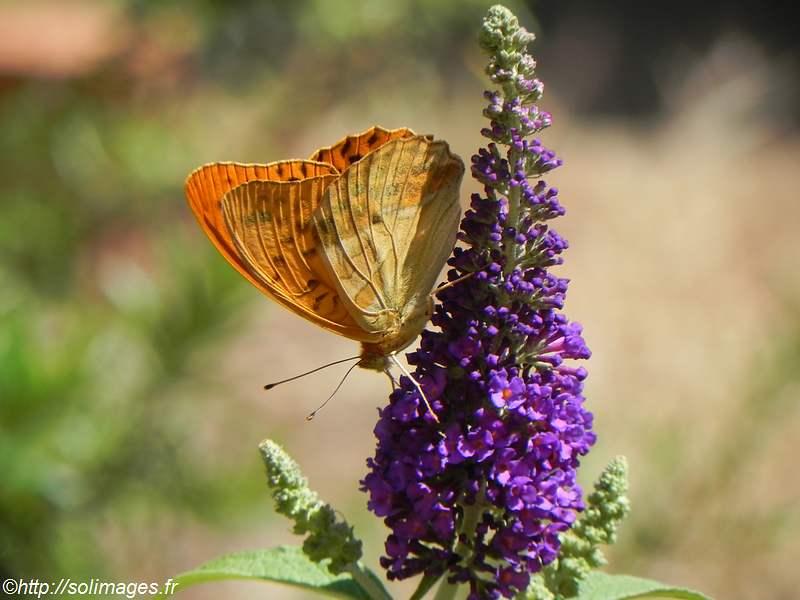 papillon-orange.jpg