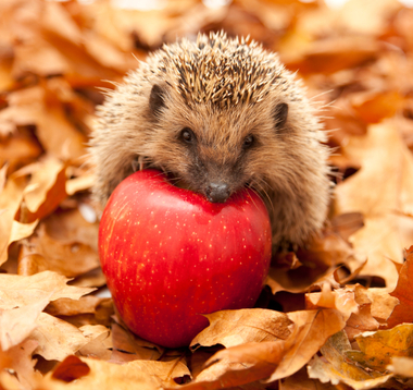 baby-animals-baby-hedgehog.jpg