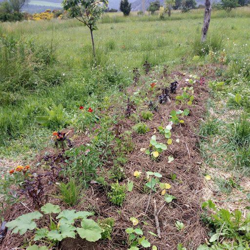 Permaculture, Bute Michto début floraison