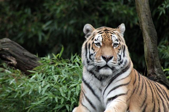 sumatran-tiger-996481_640.jpg