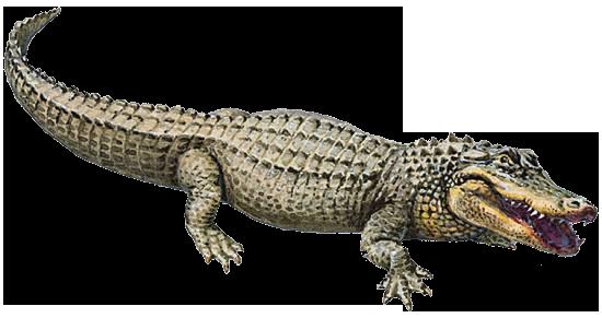https://static.blog4ever.com/2016/03/816195/Chronique-005---Alligator.png