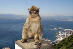 Macaque de Gibraltar.jpg