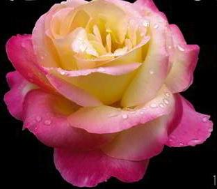 rose amour.jpg