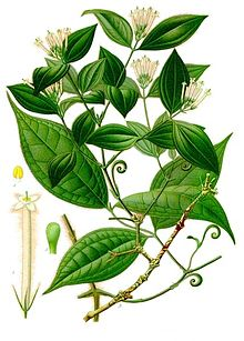 Strychnos_toxifera_-_Köhler–s_Medizinal-Pflanzen-267.jpg