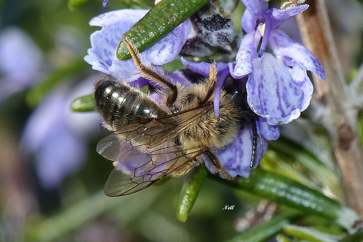 Andrena  sp mâleAndrenidae(2)